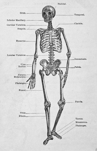 best 25+ human skeleton labeled ideas on pinterest | human, Skeleton