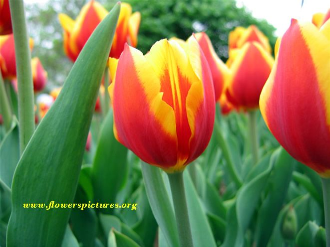 tulip flower picture | Pictures of red tulip flowers