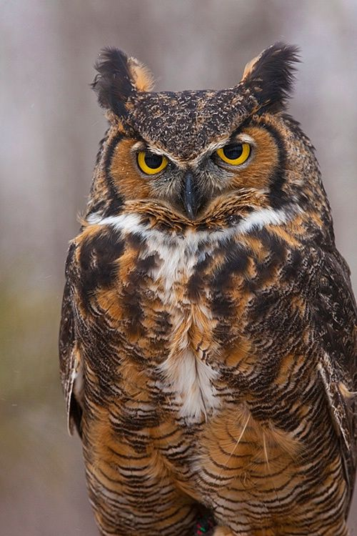 Mated in thick stand of evergreens outside my home last spring. Looking forward. Great horned owl, Minnesota