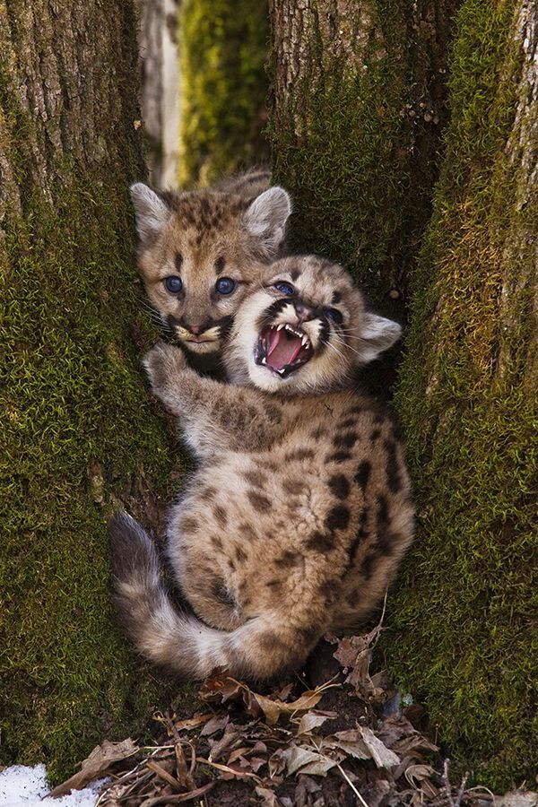 Mountain Lion Cubs ...........click here to find out more http://googydog.com