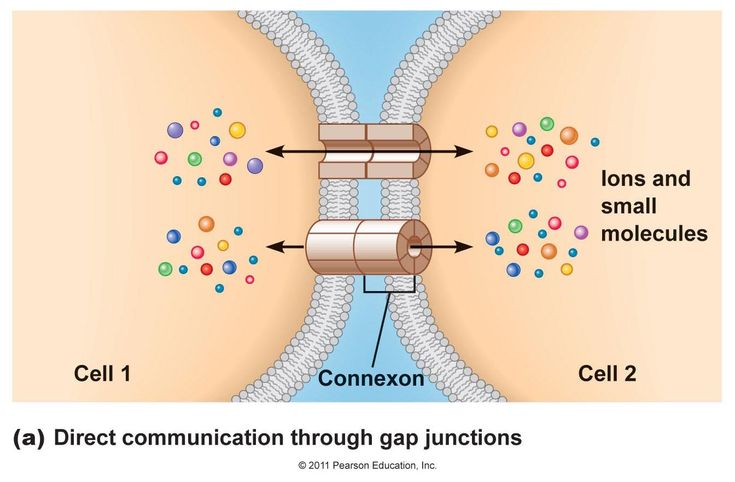 passief iontransport door kanaaltjes  Gap Junctions are channels between cell membranes that allow ions and small molecules to pass directly from one cell to another. These channels are formed by membrane proteins called connexins. Six connexins in the cell membrane form a channel called a connexon. Connexons from two cells form a gap junction. Gap junctions permit electrical signals to pass directly from one cell to another.