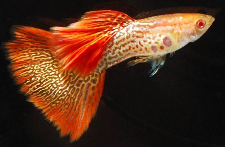 ikan-guppy.jpg (1132×742)