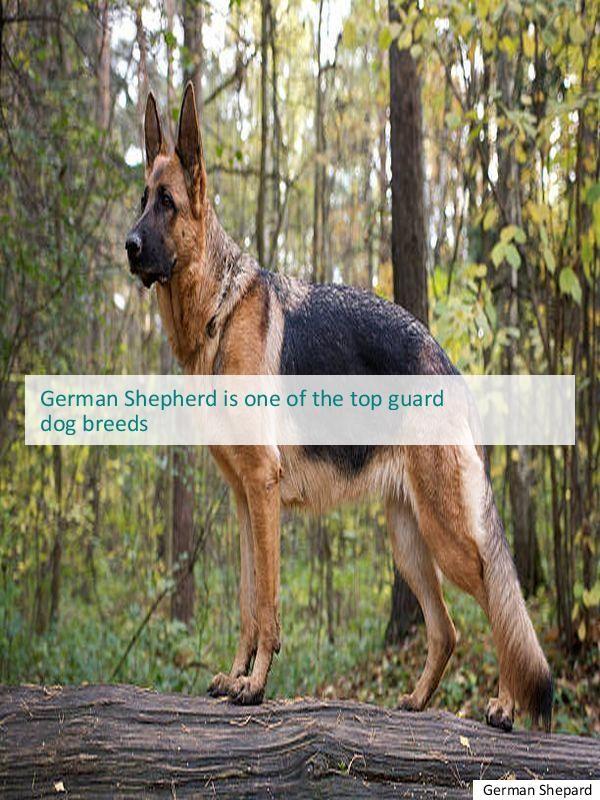 Going To Buy German Shepherd Rescue Near Me Gsd Adoption Buy German Shepherd German Shepherd Dogs German Shepherd Breeds