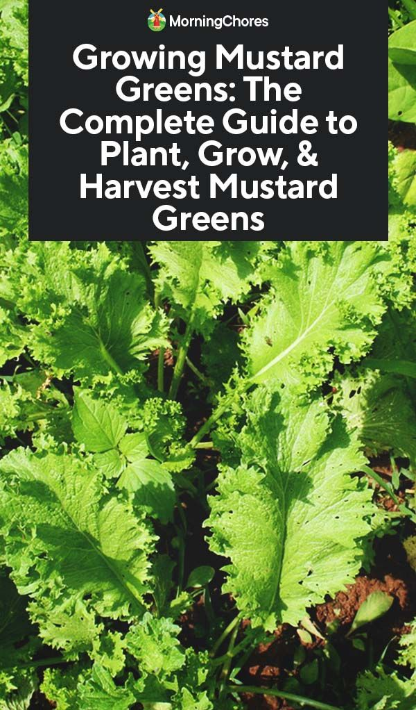 Growing Mustard Greens The Complete Guide To Plant Grow
