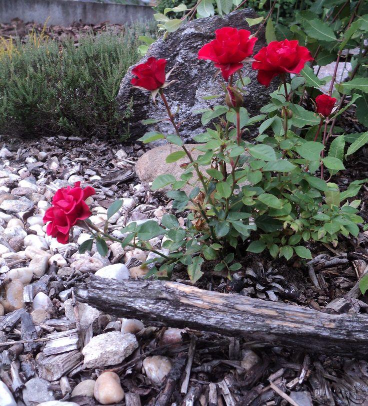 Mini růže červená - červenec 2016