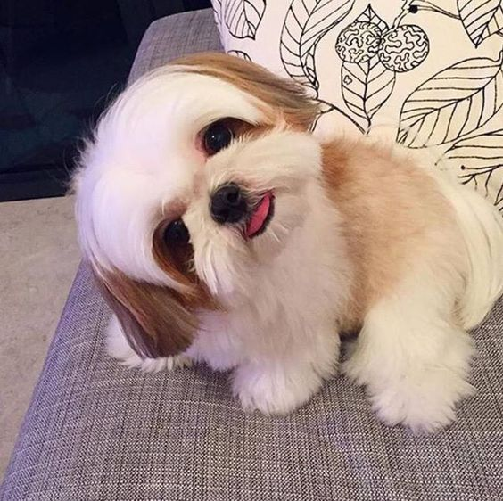 'What did you say?' - Shih Tzu Dog - more at megacutie.co.uk