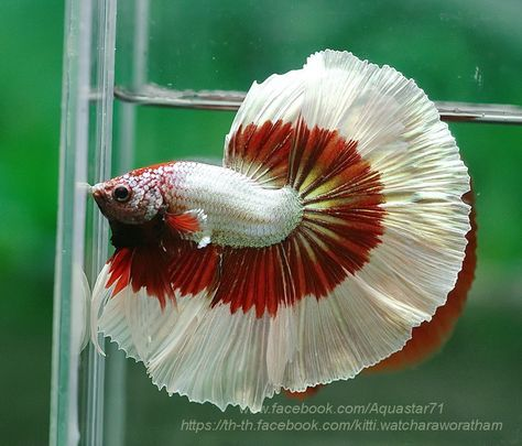 459 best images about betta fish on pinterest for Betta fish temp