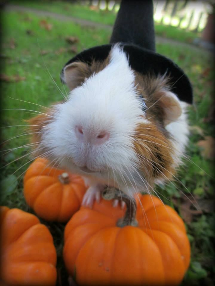 my guinea pig LadyBug on Halloween