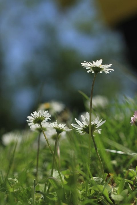 Lawn daisies - shot from the hip.
