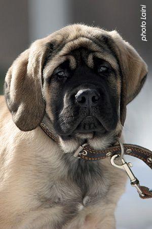 Cachorro de Mastín,cara de noni