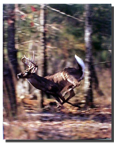 This contemporary style whitetail buck deer running wild animal art print poster will be a great addition to your home décor. Your guests will definitely compliment you for your excellent taste. Buy this wonderful piece of art for its durable quality with high degree of color accuracy which ensures protect your image for years to come.