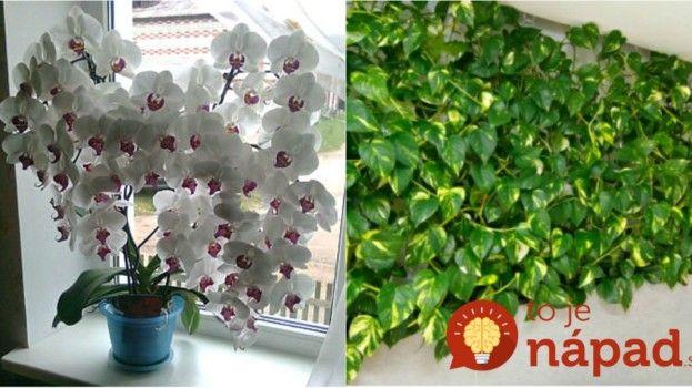 Kvasnicová zálivka pro květiny podporuje růsti kvetení