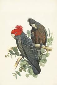 william t cooper artist - Google Search Gang-gang cockatoo pair