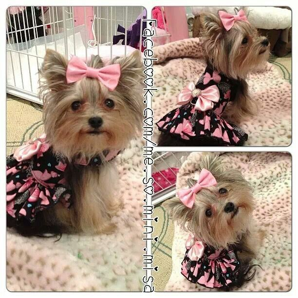 Misa Minnie I want another Yorkie sooo bad