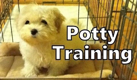 How To Potty Train A Maltese Puppy Maltese House Training Tips Housebreaking Maltese Puppies #MasterDogTrainingandSocializing