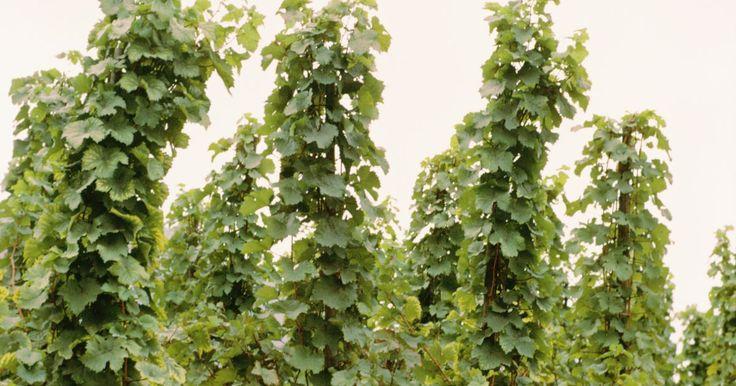 Como cultivar lúpulos. Humulus lupulus é uma planta que compartilha semelhanças com o cannabis e as urtigas. É uma planta trepadeira que cresce rapidamente e é nativa das ilhas britânicas. Humulus lupulus é mais comumente chamado de lúpulo e é um ingrediente essencial para se fazer a cerveja. O fruto -- ou os cones -- da planta agem como conservantes e adicionam um ...