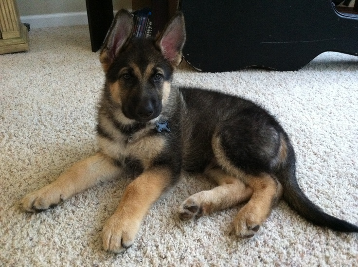 King shepherd Puppy King Shepherds Pinterest