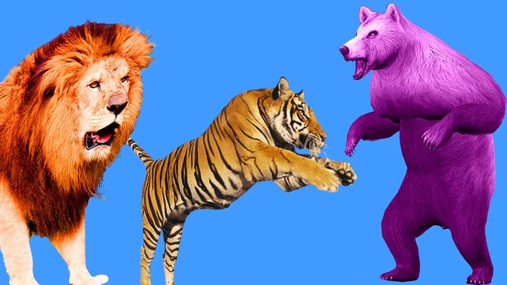 Lion Vs Tiger   Bear Vs Tiger Fight   Learn Animals Names And Sounds   Learn Colors With Animals https://youtu.be/BFrkyulJm3U