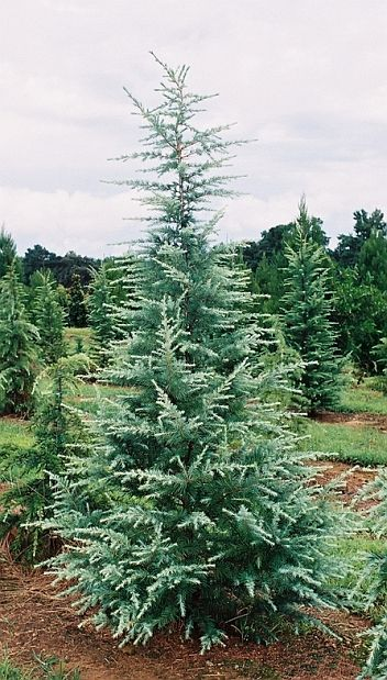 Blue Cedar Tree Varieties ~ Best cedrus deodara ideas on pinterest dwarf