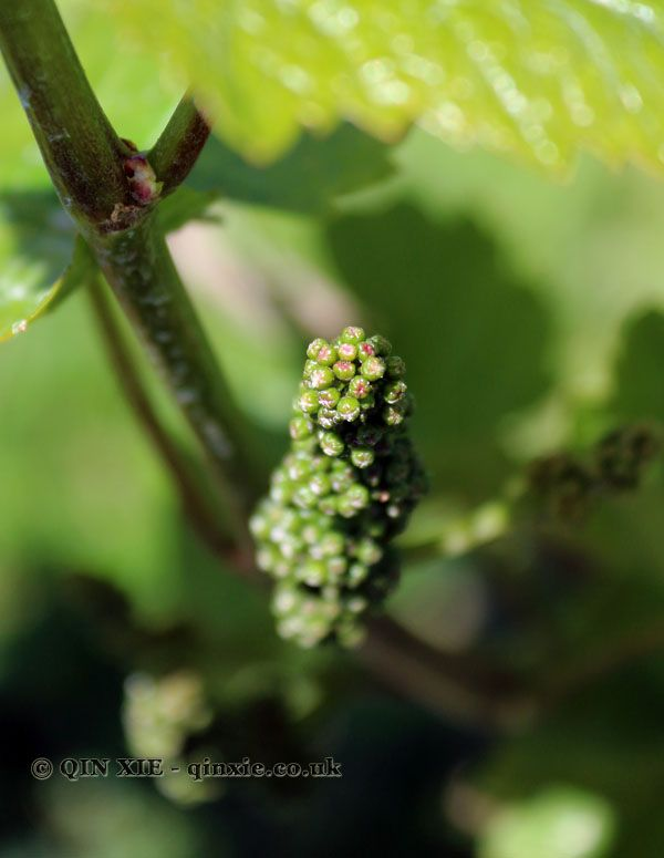 Grape flower buds close up, Baden-Württemberg