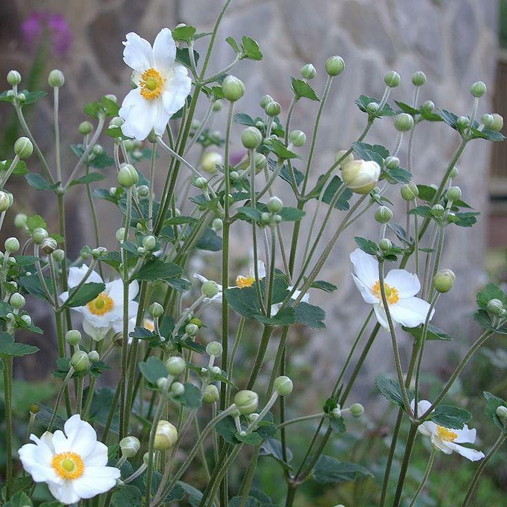 anemone du japon honorine jobert