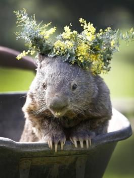 Oldest wombat in captivity At nearly 28 years old, Patrick the wombat is believed to be the oldest of his kind in captivity. The old-timer lives at the Ballarat Wildlife Park in Australia.