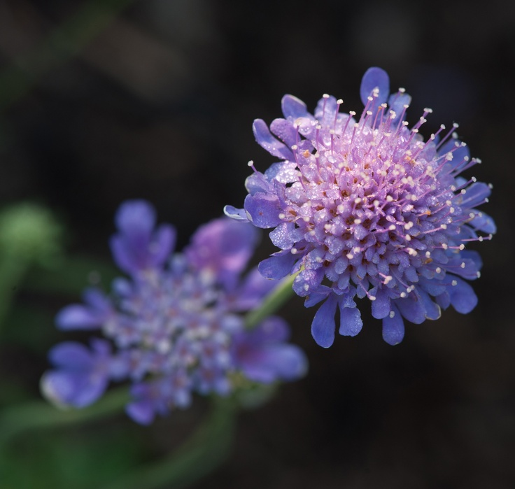 Scabiosa columbaria 'Butterfly Blue'. Beautiful!