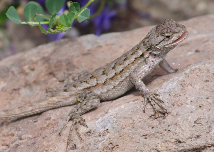 Western Fence Lizard - Our Backyard | Reptiles of Southern ...