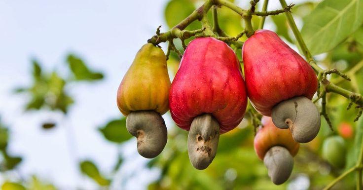 Buah jambu monyet lebih dikenal dengan nama buah jambu mete. Hal ini karena buahnya yang memiliki biji mete. Biji inilah yang diambil sebagai kacang mete.