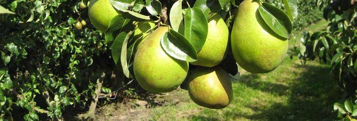 Smullen van een lekker, sappig peertje afkomstig uit eigen tuin. Het kan! Ontdek onze perenbomen en maak uw keuze op basis van smaak, bestuiving en ras
