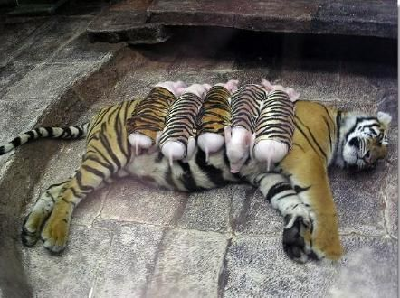 A mother tiger lost her cubs due to premature labour. Shortly after, she became depressed and her health declined. She was later diagnosed with depression. Since tigers are endangered, every effort was made to secure her health. Zoologists wrapped piglets up in tiger-print cloth, and presented them to the mother tiger. She now loves these piglets and treats them like her own. And needless to mention, her health is back on track. ♥ Yes, they ALL have feelings....just like we do.