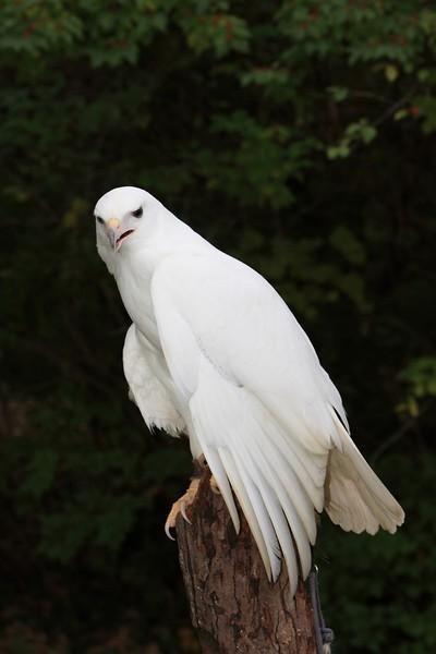 Witte gemuteerde Roodstaartbuizerd (geen albino - het heeft geen rode ogen)
