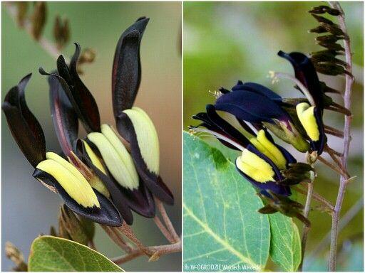 KENEDIA NIGRICANS To silnie rosnące pnącze. W naturalnych warunkach może okryć obszar o powierzchni 6m. Posiada ciemnozielone liście podzielone na mniejsze 3 listki. Kiaty są wyjątkowo atrakcyjne -czarne i żółte. Rozmnażane przez wysiew nasion.