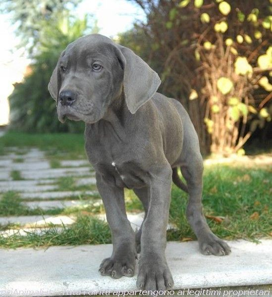 Puppy of blue Great Dane