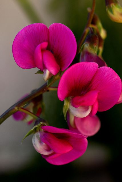 Sweet Peas always remind me of my childhood we had a lot of these growing up around our home.