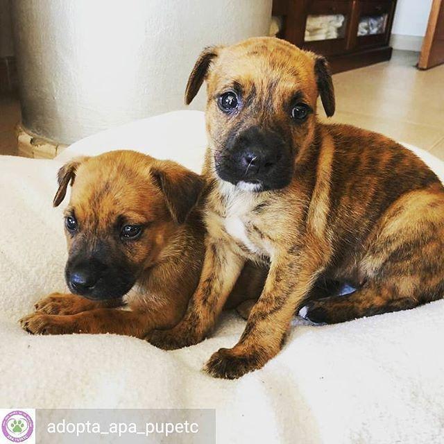 Reposted From Adopta Apa Pupetc Get Regrann Lluna Y Max En Adopción Cachorros De 6 Semanas En Adopción Tamaño Medio De Adultos Son Mestiz Dogs Animals