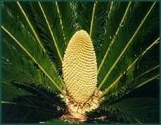 Cycas revoluta - King Sago Palms - pollination and seed growing.