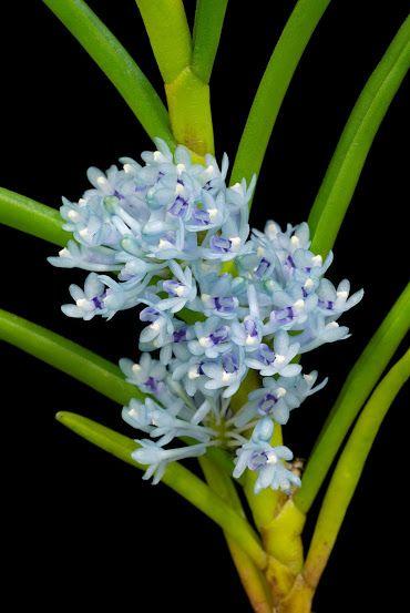 cleisocentron gokusingii #orchid