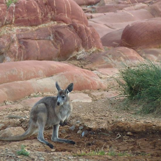 Kangaroo or Euro?