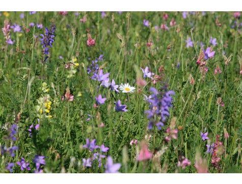 Samen, Mischung Blumenwiese 0,49/qm