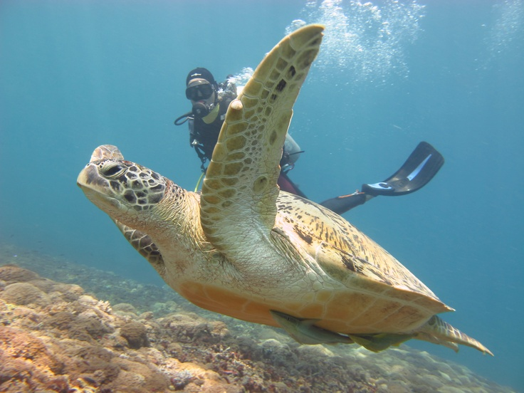 Swimming turtle-Diversia Diving Gili Trawangan Lombok Indonesia