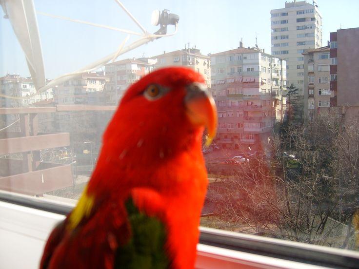 Papagan Avni -Lori