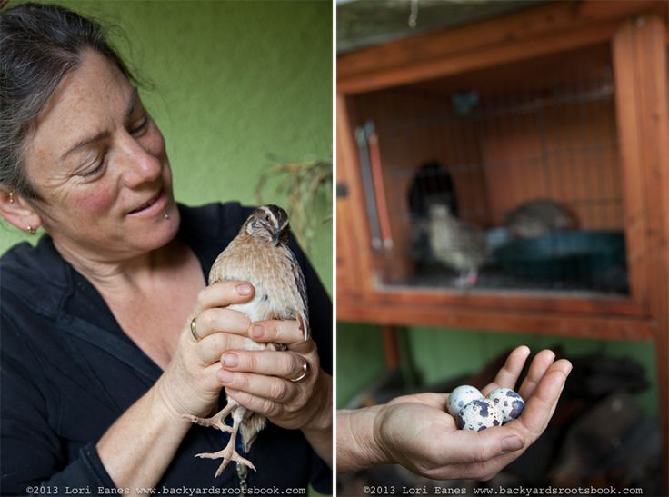 Raise Quail (like the Coturnix breed) as an alternative to raising Chickens. Very informative read!