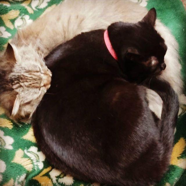 They are my cats, sakura and mono.  愛猫のモノとサクラです😊下敷きになってるサクラがちょっと迷惑そう。  #cats #愛猫