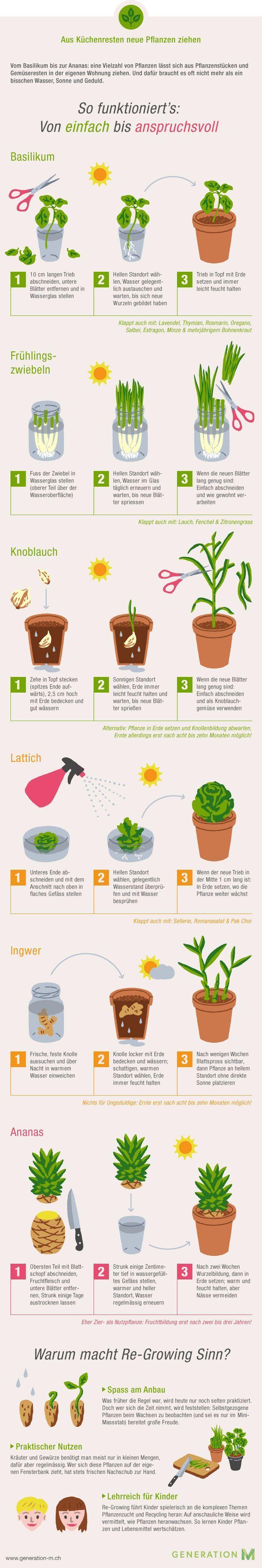 Die Infografik zeigt Ihnen wie Sie aus Küchenresten neues Gemüse ziehen. Druck – blackbaby