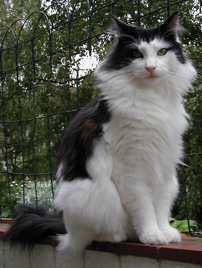 norwegian forest - Google Search