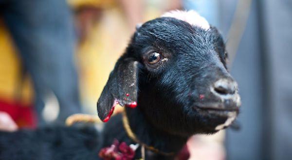 Stop Gadhimai-Schlachtfest! November 28 Please signe