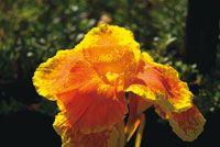 Flor de achira, Canna edulis, de cuyas raíces se obtiene harina para elaborar diversos alimentos.