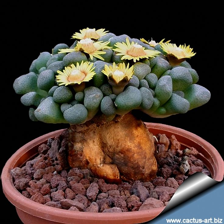 Aloinopsis Schooneesii Great succulent bonsai: The thick root and trunk eventually can be trained to the shape of a odd mini-bonsai.