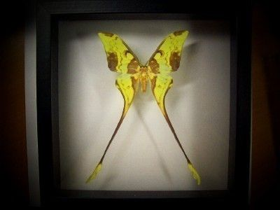 Beautiful Comet Moth by BugsInMyHouse on Etsy